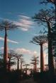 Baobab Alley