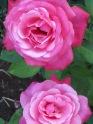 Kuka Lodge - Roses