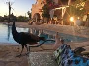 Romeo, Resident Peacock